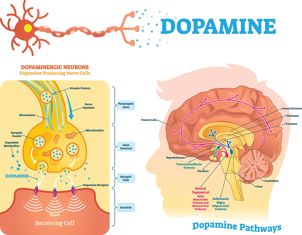 Dopamine is known as the feel-good neurotransmitter and is one reason that we love instant gratification. Dopamine is a chemical that ferries information between neurons. The brain releases it when we eat food that we crave or while we have sex, contributing to feelings of pleasure and satisfaction as part of the reward system. This important neurochemical boosts mood, motivation, and attention, and helps regulate movement, learning, and emotional responses.