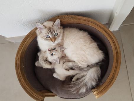 New Neva Masquerade kittens