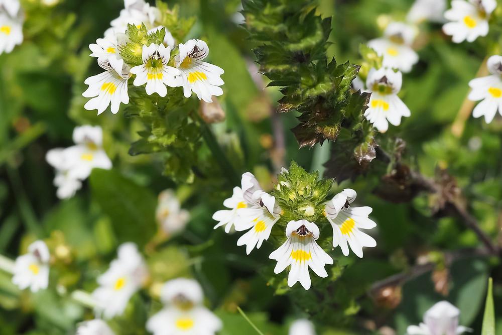 Eyebright Blossoms