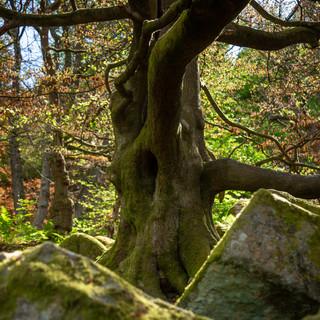 padley tree above millstone.jpg