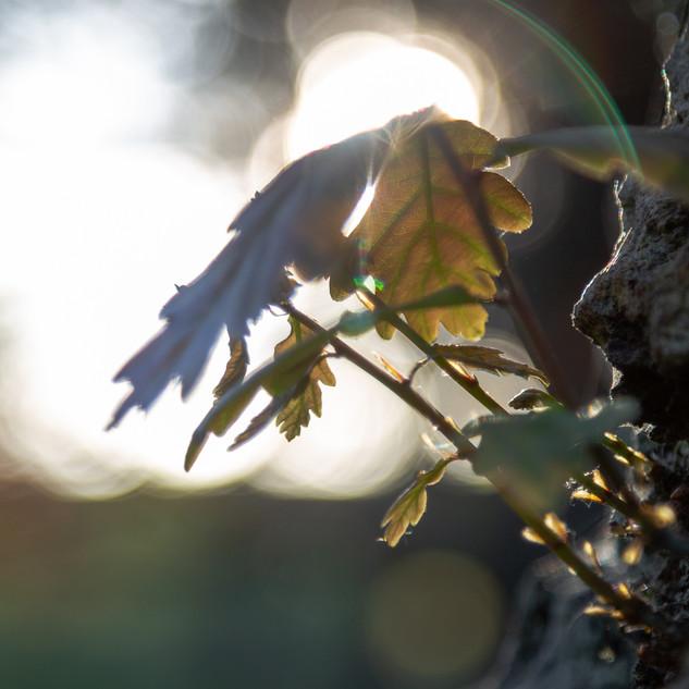 oak leaves and su pad 1.jpg