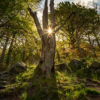 tree at padley sunburst 1.jpg