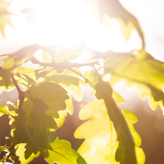 close oak sun 1.jpg