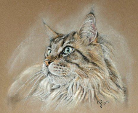 Maine Coon ~ 2016
