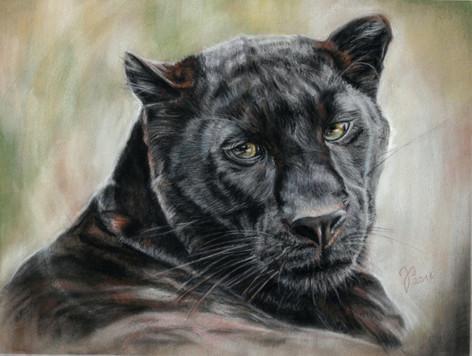 Panthera pardus ~ 2016