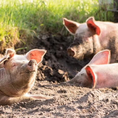 ¿Cómo está enfrentando el sector porcino la crisis del COVID-19?