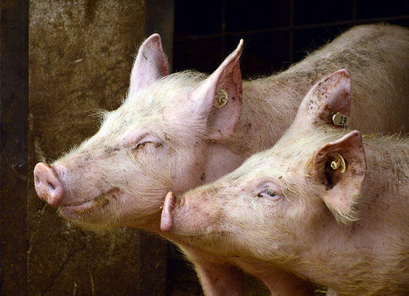 Granjas porcinas