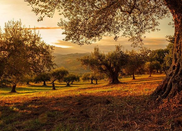 Olivos de Portugal