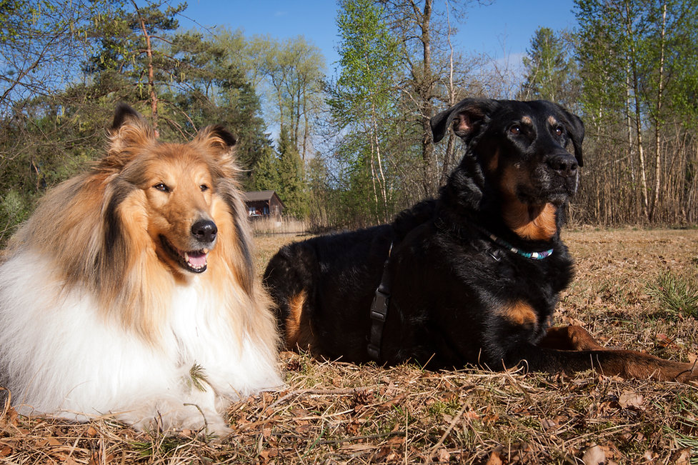 Collie Beauceron Hund