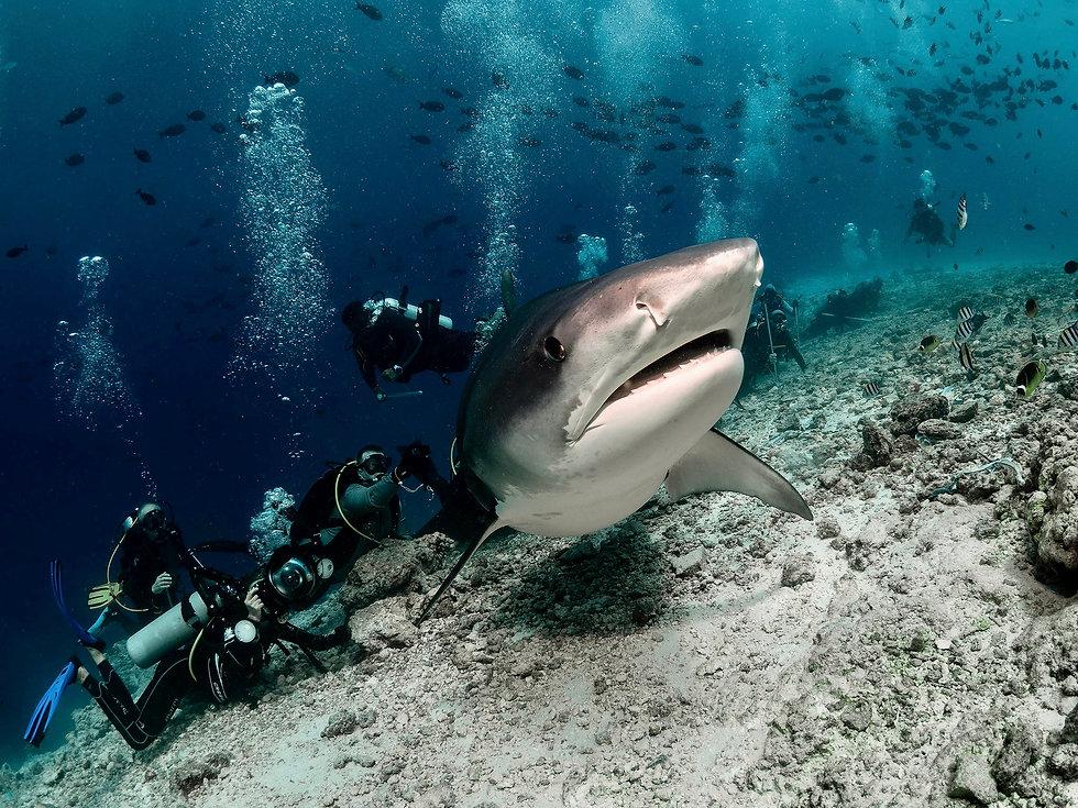 Fuvahmulah Tiger Shark.jpg