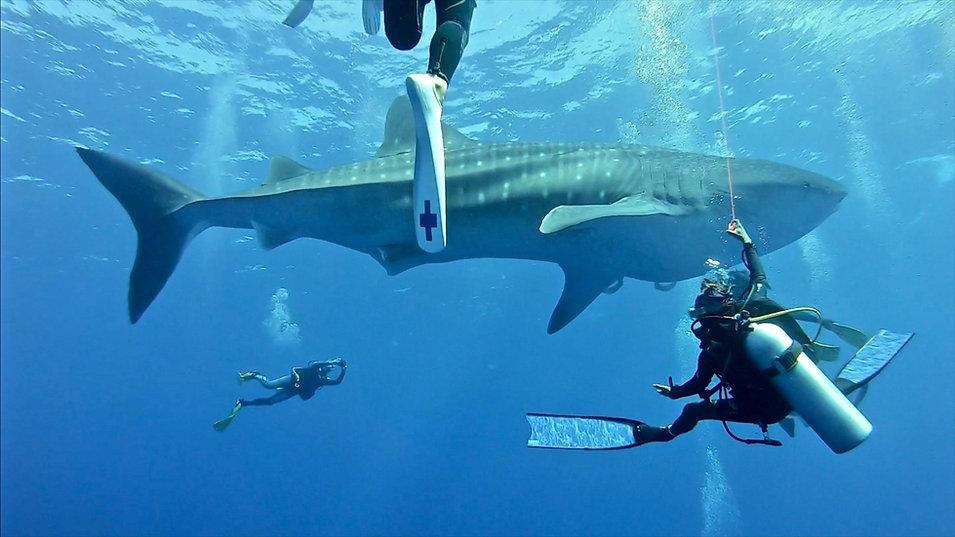 Whale Shark Fuvahmulah