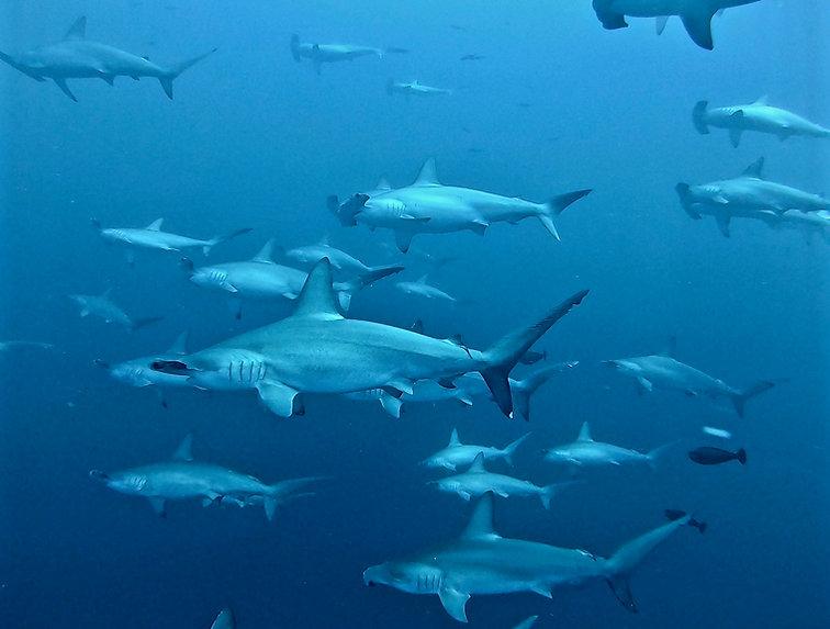 Hammerheads Maldives Fuvahmulah