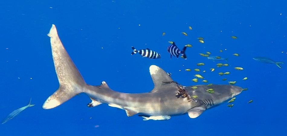 Longimanus Maldivers