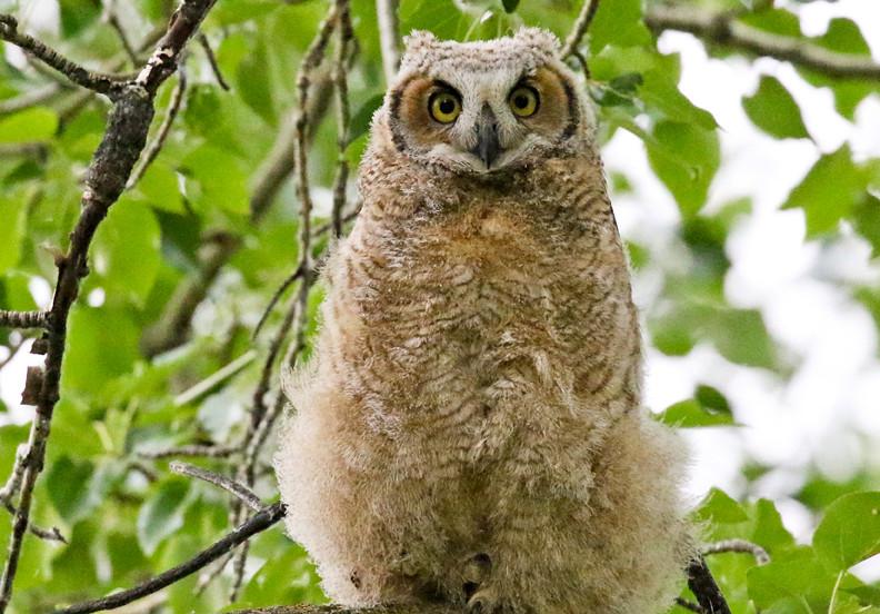 Great Horned Owlet.jpg