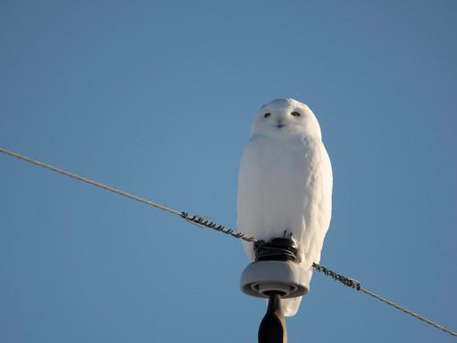 Snowy Owl Prowl #1 Nov 28th 2020