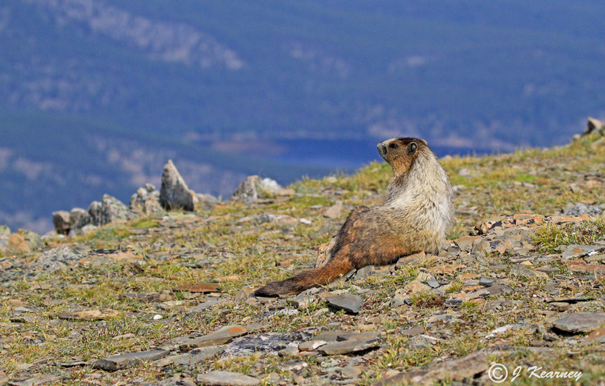 Hoary Marmot enjoying the view.jpg