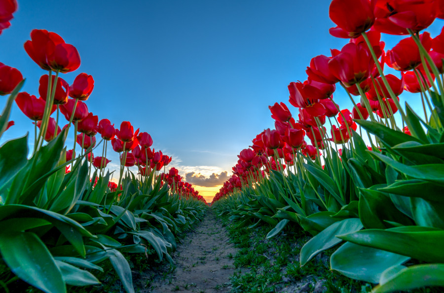 row-of-tulips.jpg