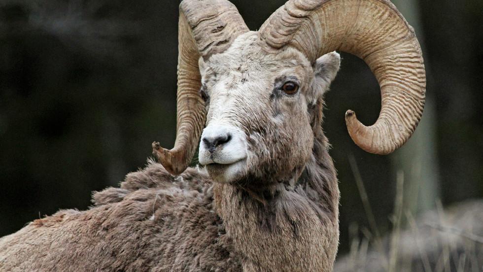 Rocky Mountain Bighorn Sheep.jpg