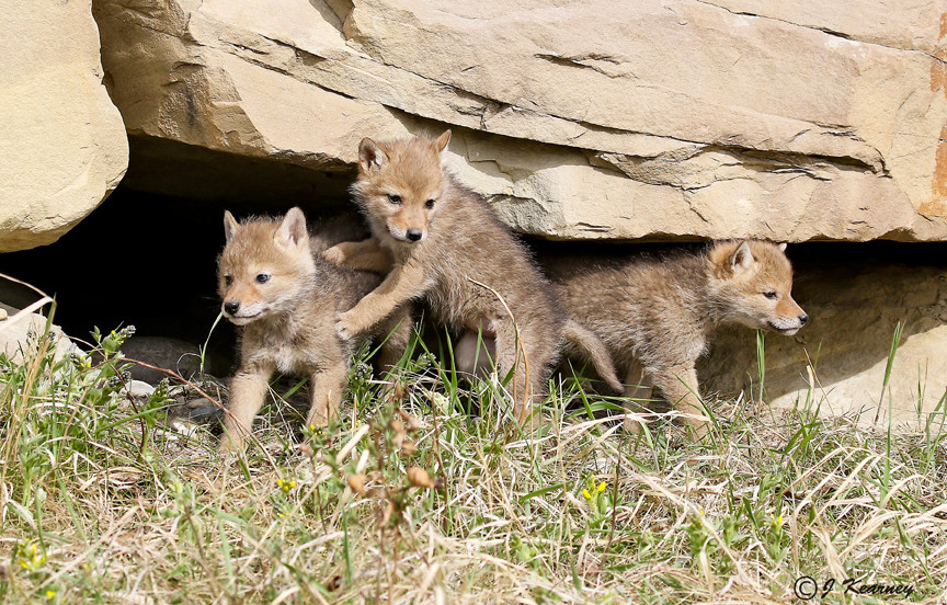 Coyote Pups.jpg