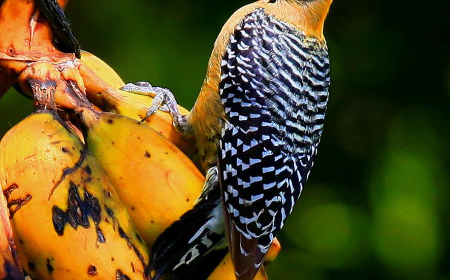 Hoffmann's Woodpecker, Costa Rica.jpg