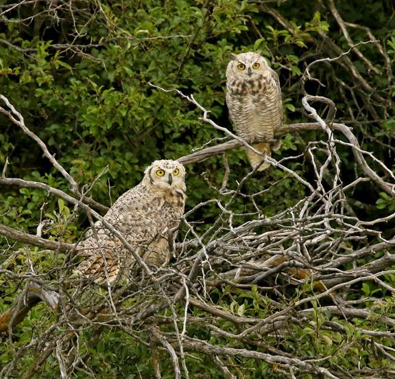 Great Horned Owls Juveniles.jpg