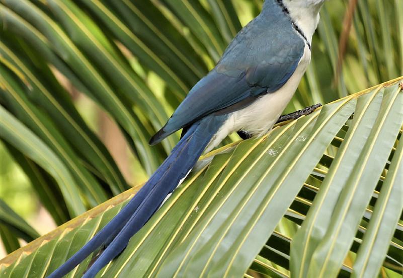 Magpie Jay.jpg