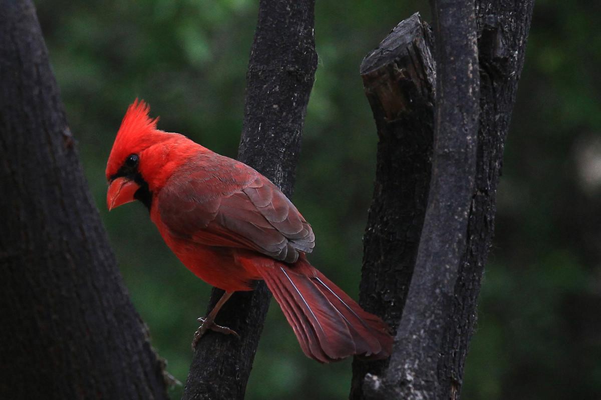 Cardinal, Tucson, Arizona.jpg