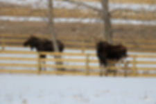 Moose 2020.jpg