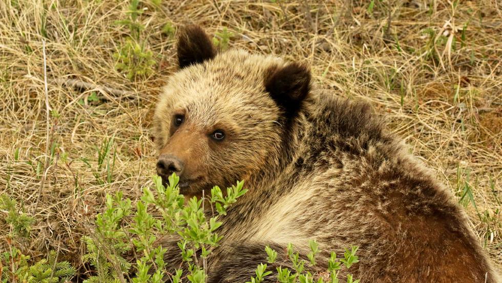 Grizzly Bear Juvenile.jpg