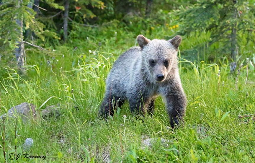 Grizzly Bear Cub.jpg