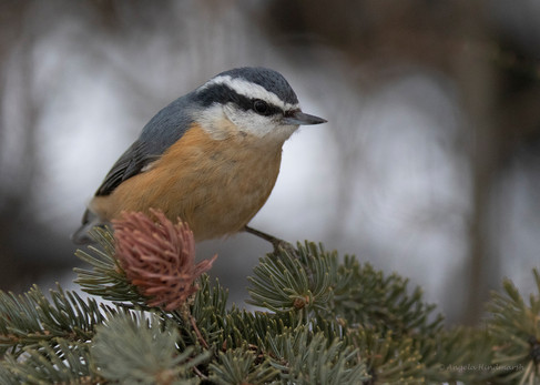 AJH Red Breasted Nuthatch
