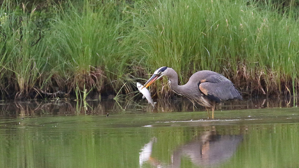 Great Blue Heron with fish.jpg