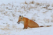 Fox Burp.jpg