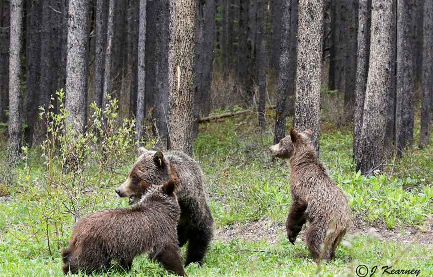Grizzly Bear Family.jpg