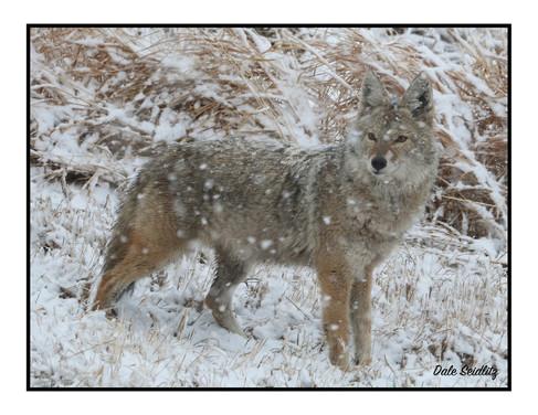 Coyote Seidlitz