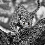 _DSC4493 - Leopard in Tree - 16 by 20 -