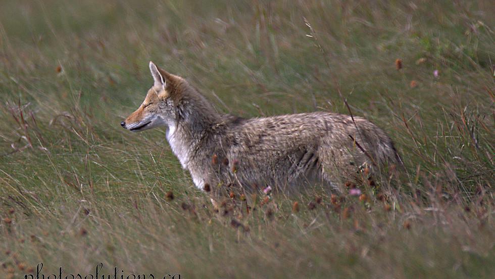 coyote-dreaming-cropped-wm.jpg