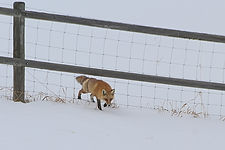 Fox Through The Fence.jpg