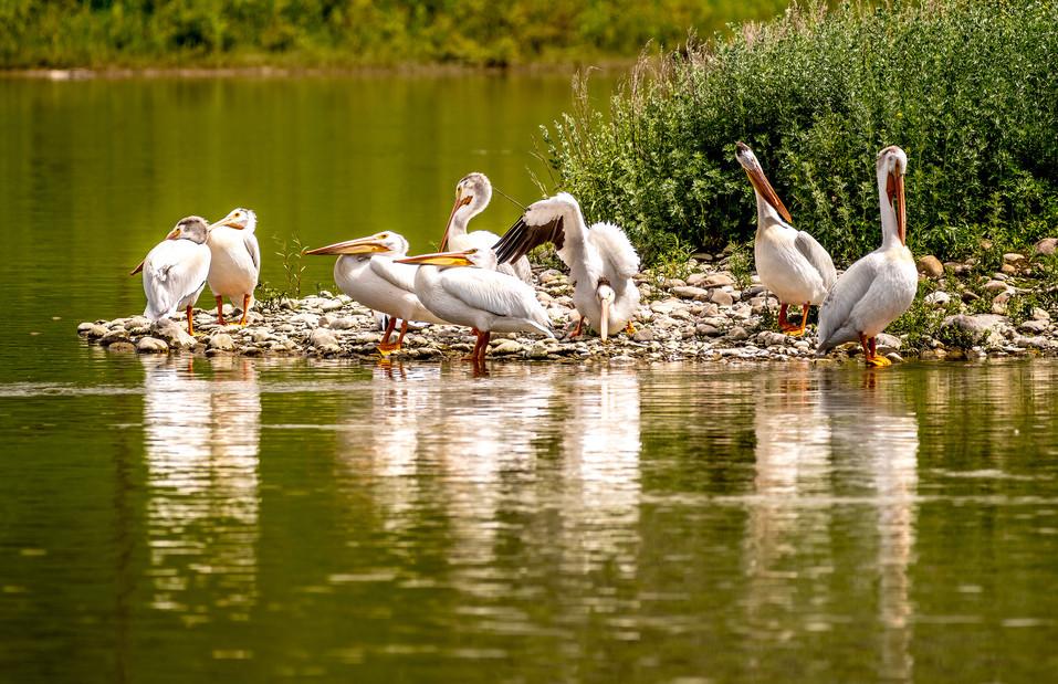 Pelicans at Dixon