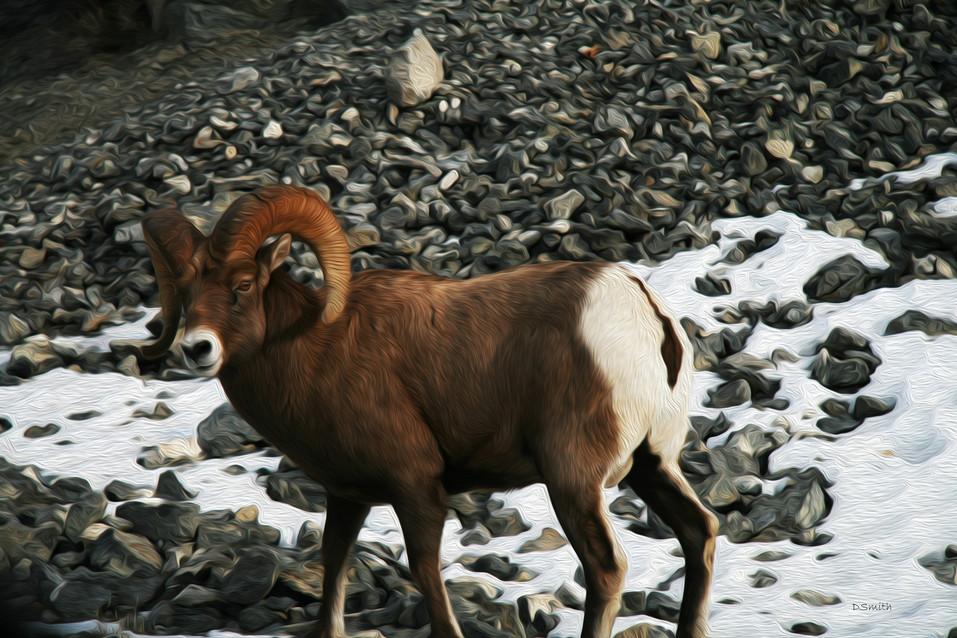Denise Smith -Bighorn Sheep (1).jpg