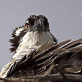 osprey-stare-down-wm.jpg