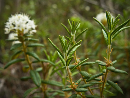 Labrador Tea plant_3245.jpg