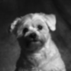 Hondenportret Linda Photo-Art