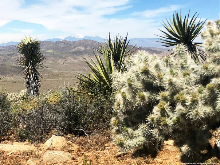 Joshua Tree in Community with Cholla Cactus