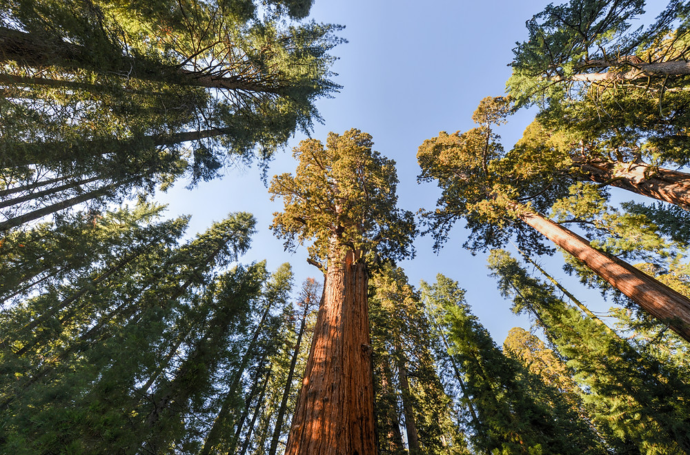 sequoias sequoia national park trees tall