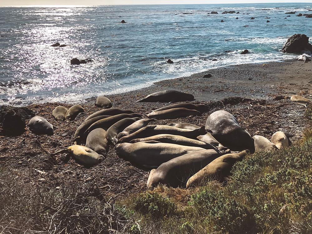 elephant seals viewing area san simeon