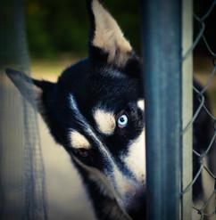 Blu Eye Dog.jpg