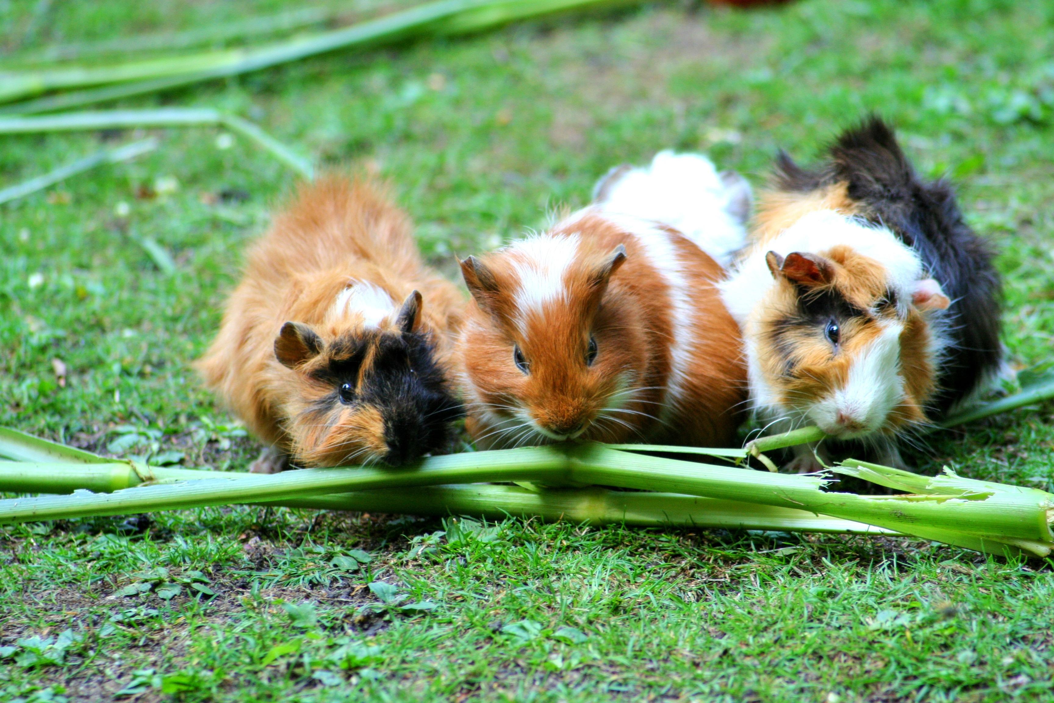 Munching guinea pigs