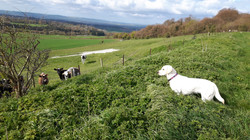 Isla and cows!