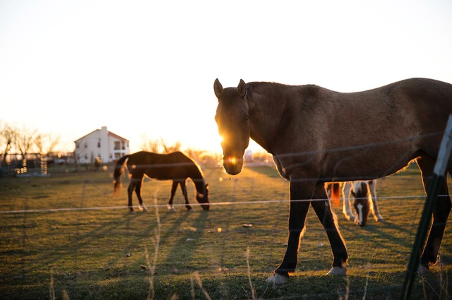 Ponies at sunset